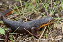 Rough-skinned Newt (Taricha granulosa) DSC_5384 (fotosynthesys) Tags: roughskinnednewt tarichagranulosa pacificnewt newt truesalamander salamandridae salamander amphibian california unitedstates