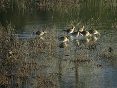 Long-billed Dowitchers visiting palustrine wetland (stonebird) Tags: longbilleddowitchers ballonawetlandsecologicalreserve areab palustrinewetland february