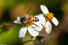 Honeybee (sciencensorcery) Tags: florida nature oaklandnaturepreserve insects bees animals