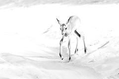 Impala fawn (Thomas Retterath) Tags: nature natur nopeople safari 2018 fluss chobe botswana africa afrika river thomasretterath wildlife aepycerosmelampus impala bovidae pflanzenfresser herbivore säugetier mammals animals tiere schwarzfersenimpala