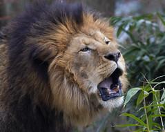 Lion roar (Panthera leo) (CGDana) Tags: national zoo smithsonian mammal megafauna dc canon 7d mkii