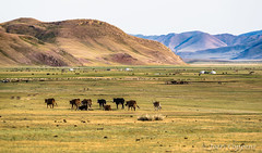 The Cows Are Going Home for the Night (joeri-c) Tags: ivenvalley selenge mongolia asia valley cow cows cattle mountain nomad nomadic nomads yurt ger travel tourism livestock meat nikon nikond750 300mm d750