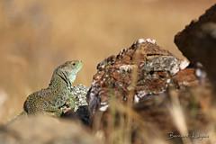 Timon lepidus   Lézard ocellé   Ocellated lizard ([ ͆ ◎] Bernard LIÉGEOIS) Tags: espagne españa spain estrémadure extremadura laserena lézard lizard timonlepidus