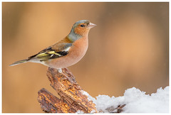 Chaffinch (Brian P Slade Photography) Tags: chaffinch birds bird birdwatching birding top20birdshots ukbirds snow snowflakes animalplanet animalportraits animals wildlifephotography wildlife fantasticwildlife ukwildlife uk naturephotography nature brianpslade brianpsladephotography light canonphotography canon sigmasports sigma garden woodland winter springwatch smallbirds