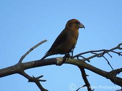 A gorgeous male Crossbill, taken 9.3.19, suffolk (nina1688) Tags:
