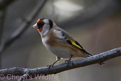 Goldfinch (Cheryl's Wildlife) Tags: wildlife nature suffolk rspb birds 2019 birdwatching nikon sigma photography east eastanglia naturereserve wildlifetrust riverlark weststow
