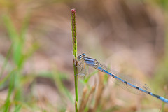 DSC_1833 (redfish1957) Tags: damselfly blue bluet macro nature floridanature nikond7500 nikon85mmmicro