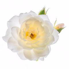 Rose white (Jez22) Tags: white yellow rose flora floral dainty petals bud bloom flower delicate pretty natural copyright jeremysage romantic pastel colour color romance nature