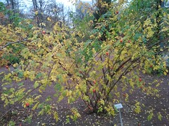 Rosa moyesii (Elmar Eye) Tags: autumn rosa moyesii gothenburg trädgårdsföreningen