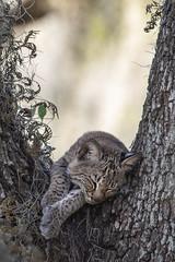 Cat Nap (PeterBrannon) Tags: babybobcat bobcat florida liveoak lynxrufus nature polkcounty sleeping tree wildcat wildlife portrait sleepycat spanishmoss