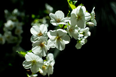 White cherry blossoms (Thanathip Moolvong) Tags: white cherry blossom gardenbythebay singapore