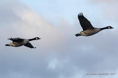 IMG_0313271 (Ashley Middleton Photography) Tags: coatewatercountrypark swindon animal bird canadagoose england europe goosegeese unitedkingdom wiltshire