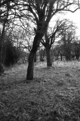 Old fruit trees (martin.bruntnell) Tags: fruittrees canonftb