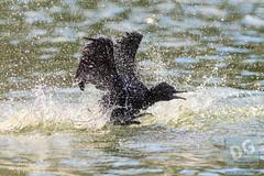 Little Cormorant bathing (David de Groot) Tags: littlecormorant uqlakes wash bath bird nature waterbird stlucia queensland australia au