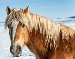 Standing in Snow (mnryno) Tags: colorado animal equine horse