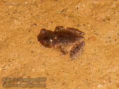 Megophrys ombrophila #6 DSCN1088 closeupv3 (Kevin Messenger) Tags: amphibians frog fujian wuyishan megophrys ombrophila amphibia toad china kevin messenger hollis dahn new species guadun herpetology canon wildlife research nature