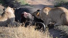 Lion Pride Feeding (Everyday Glory!!!) Tags: masaimara africa kenya safari gamedrive mara wildlife wild maasaimara maasai africanbuffalo buffalo capebuffalo