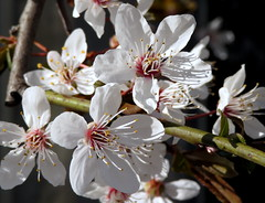 Spring (__ PeterCH51 __) Tags: flowers white spring springtime frühling blüte nature basel switzerland peterch51 blossoms springblossoms seasons closeup macro makro springisintheair