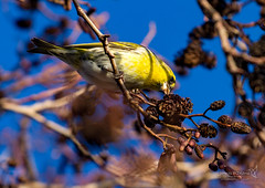 Siskin Perth 29 Dec 2018 00004.jpg (JamesPDeans.co.uk) Tags: forthemanwhohaseverything siskin gb printsforsale birds perth unitedkingdom nature scotland britain europe finch wwwjamespdeanscouk perthshire wildlife greatbritain landscapeforwalls jamespdeansphotography uk digitaldownloadsforlicence