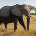 Afrikanischer Elefant / African Bush Elephant