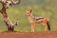 Black-backed jackal / Zadeljakhals (Wim Hoek) Tags: scavengershillhide zadeljakhals mammals zimangagamereserve afrika africa blackbackedjackal canismesomelas zoogdieren uphongolonu kwazulunatal southafrica za