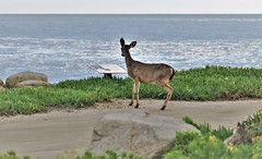 April2Image9786 (Michael T. Morales) Tags: deer ptpinos pacificgrove montereybay nature muledeer