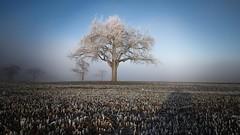 Ice Age (SonjaS.) Tags: baum frost frozen wiese winter sonjasayer frosty vereist eis schnee badenwürttemberg solitär nebel fog mist 霧 안개 brouillard iceage