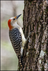 Red-bellied Woodpecker (outsideshot) Tags: woodpecker redbelliedwoodpecker nature tree birdwatching wings avian spring feathers nikond7100 sigma150600 outsideshot outdoors