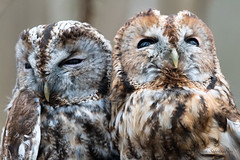 Chouette Hulotte-Strix aluco (PatNik01) Tags: strixaluco chouettehulotte oiseau rapace nocturne bird raptors france nikon duo malefemelle couple owl