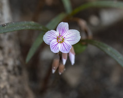 Spring Beauty (wplynn) Tags: fort ft ben benjamin harrison state park indianapolis in indiana ftharrisonstatepark fortharrisonstatepark statepark wild flower ephemeral ephemerals claytonia virginica 2019