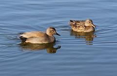 Gadwalls (Wild Chroma) Tags: anas strepera anasstrepera duck gadwall pair birds nonpasserines ludo riaformosa portugal faro