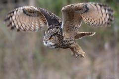 Fly (jacobsfrank) Tags: oehoe owl uil birdofprey roofvogel bird vogel wings vleugels nikon nikond5 flickr frankjacobs jacobsfrank diessen thenetherlands nederland