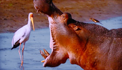 AFRICA - No! The hippo will not eat the heron!! (Jacques Rollet (VERY SICK)) Tags: animal heron hippo hippopotame africa héron