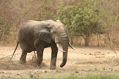 Savanna elephant, Mole National Park, Ghana (inyathi) Tags: westafrica ghana africananimals africanwildlife africanelephants savannaelephants elephants loxodontaafricana molenationalpark africa
