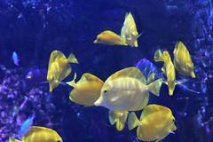 Yellow tangs (thehamgallery) Tags: yellow tang d7200 50mm f18 newport aquarium