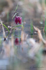 Fritillaire pintade-Fritillaria meleagris (PatNik01) Tags: france fritillairepintade fritillariameleagris bugey eau fleur mauve nikon nature macro flower proxy wild bokeh wildlife plant