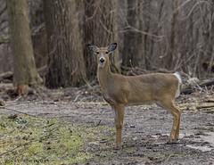 White-tailed Doe. (Estrada77) Tags: deer whitetailed doe furrycreatures mammals wildlife winter2019 mar2019 kanecounty foxriver illinois outdoors animals nikon nikond500200500mm nature