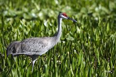 Sandhill Crane (jt893x) Tags: 150600mm antigonecanadensis bif bird crane d500 jt893x nikon nikond500 sandhillcrane sigma sigma150600mmf563dgoshsms thesunshinegroup coth5 alittlebeauty