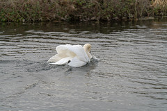 FIGHTING SWANS [ ROYAL CANAL BETWEEN BROOMBRIDGE AND ASHTOWN]-148336 (infomatique) Tags: birds swans fight wildlife nature water canal royalcanal canalwalk sony a7riii batis zeiss 135mmlens williammurphy infomatique fotonique ireland
