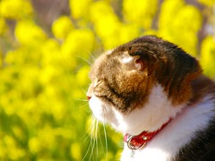 Cogito ergo sum (hamapenguin) Tags: nature flower yellow winter rapeblossom animal cat neko kanagawa park 菜の花 ネコ 猫 二宮 吾妻山公園