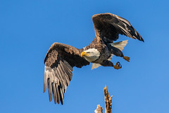 American Bald Eagle Takeoff (dbadair) Tags: outdoor nature wildlife 7dm2 canon florida bird