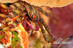 Percnon planissimum - Crab - Quadratkrabbe (chk.photo) Tags: ocean nature naturewatcher outdoor tauchen animal underwater krebs water indonesien natur makro indonesia naturemasterclass sulawesi dive light krabbe ngc diving macro scuba