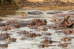 Quit Pushing Me ! (Jill Clardy) Tags: africa tanzania vantagetravel safari hippo hippopotamus crowded pond submerged angry teeth mouth wide open serengeti national park 201902249l8a0770jpg
