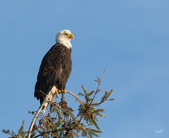 Skagit Flats Eagle (dennis_plank_nature_photography) Tags: avianphotography baldeagle birdphotography naturephotography skagit wa avian birds nature