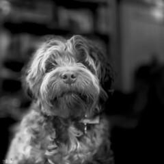 Puppy Portrait (happad fotografie) Tags: dog pup puppy hond pet huisdier black and white monochrome bw nikkor nikon d610 shallow depth of field dof bokeh
