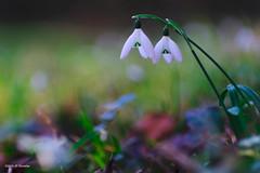 les jumelles (jpto_55) Tags: fleur perceneige proxi xt20 fuji fujifilm kiron105mmf28macro bokeh hautegaronne france ngc