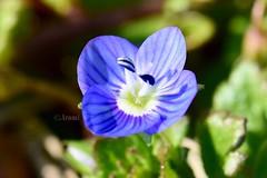 Nombre científico: Veronica persica Familia: Plantaginaceae (rosaadda) Tags: nikon 5300 flowers flor flores macrofotografía macro nature naturaleza fantasticnature