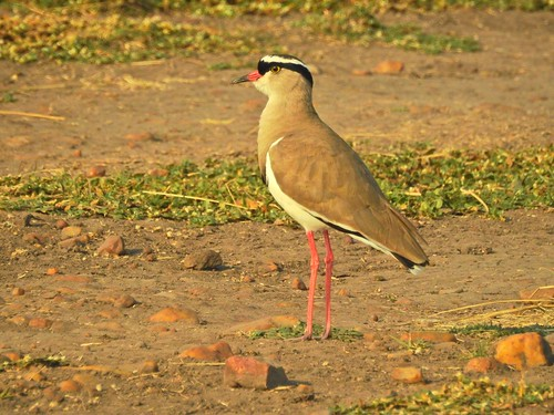 0617ex Crowned Plover