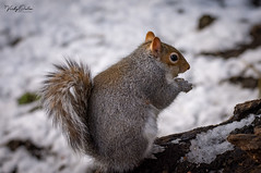 Grey squirrel in the snow. (vickyouten) Tags: greysquirrel squirrel squirreleating nature naturephotography wildlife britishwildlife wildlifephotography nikon nikond7200 nikonphotography sigma sigma150600mmc penningtonflash leigh uk vickyouten