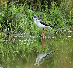 Black-winged Stilt (douwesvincent) Tags: nature uganda oeganda africa world earth eco natural outdoor safari wild open holiday trip birding explore green flora fauna life